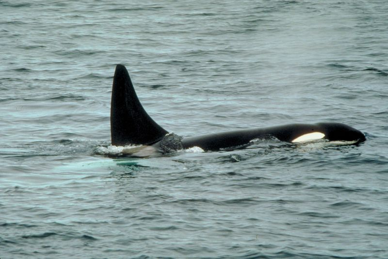 Feds weigh protecting orcas in West Coast waters