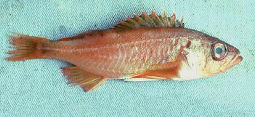 Lawsuit threatened over Puget Sound rockfish