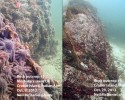 In these before-and-after images taken 20 days apart, a healthy colony of sea stars near Croker Island, Vancouver, BC is shown in the left photograph; in the right photograph of the same rock outcrop, the colony has been decimated. All that is left of the sea stars are the white mats of bacterial ooze that covers the rock. (photo courtesy Neil McDaniel)