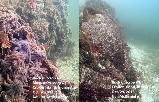 PM Bellingham 11/15/13 – WWU scientist studies dying sea stars