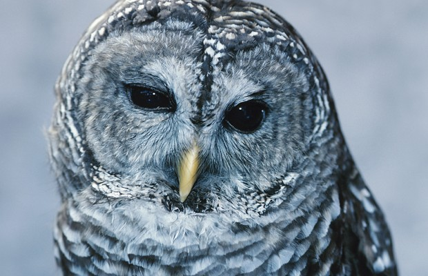 Scientists target invasive owls