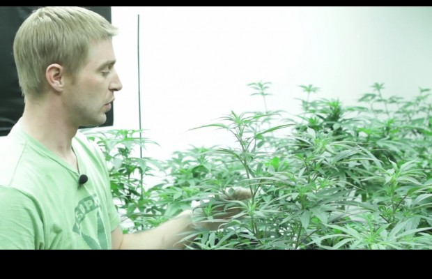 Video offers look into legal Washington pot grow