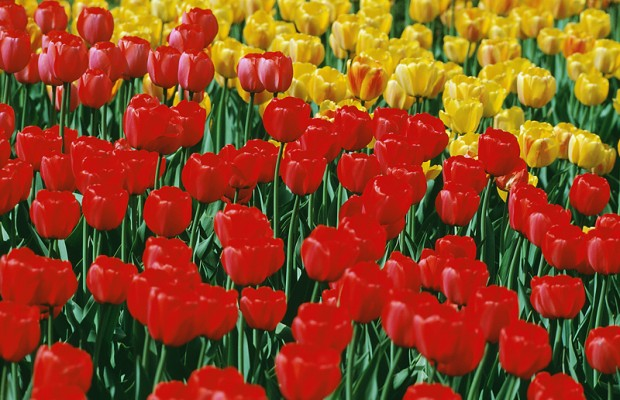 Troopers prepare for heavy Tulip Festival traffic