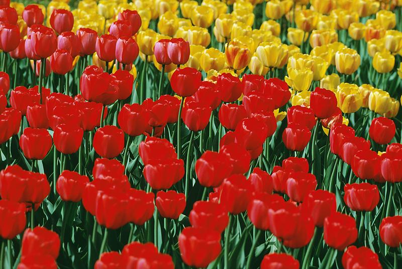 Troopers prepare for heavy Tulip Festival traffic
