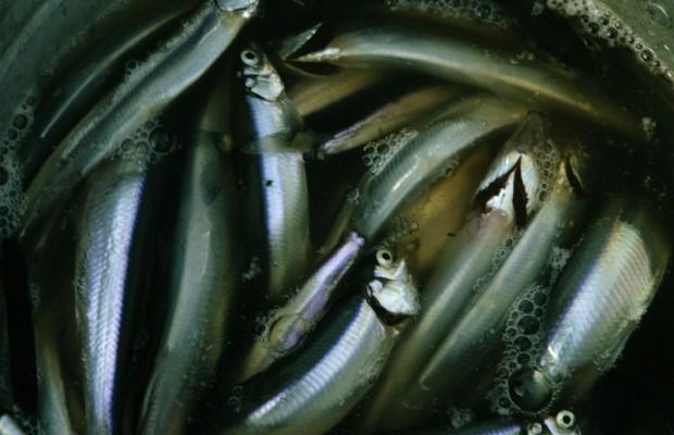 Vanishing NW seabirds linked to herring decline