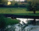 cow by pond