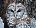 generic owl