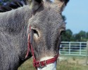 donkey-ass