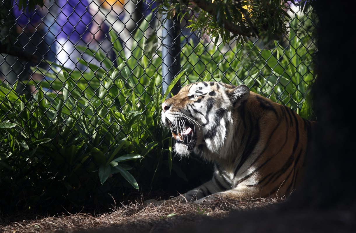 LSU's live tiger mascot suffering from inoperable cancer