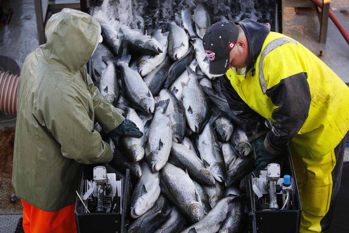 Lummi Nation anglers catch 200000 pounds of farmed Atlantic Salmon