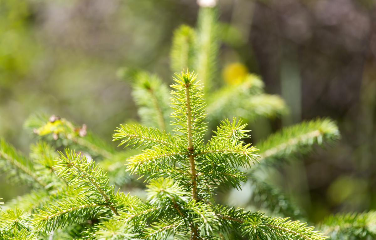 Christmas tree farms unexpected beneficiaries of pandemic ...