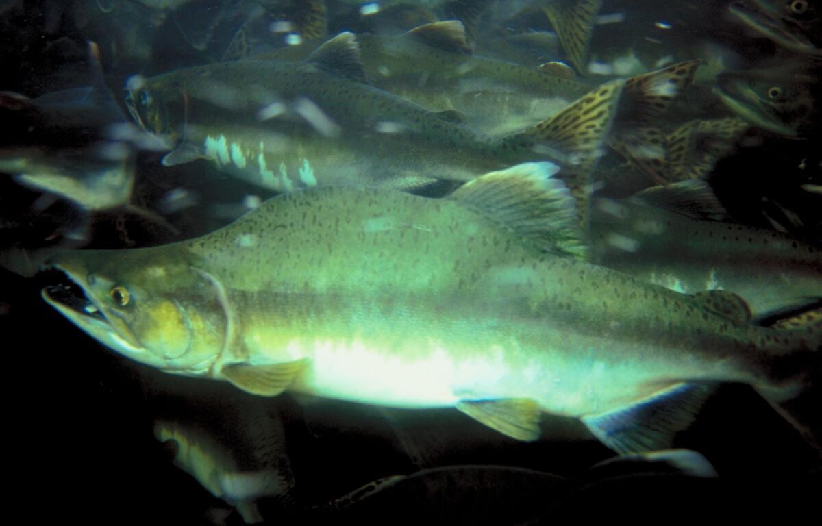 Nooksack Tribe to receive grant money for salmon restoration work